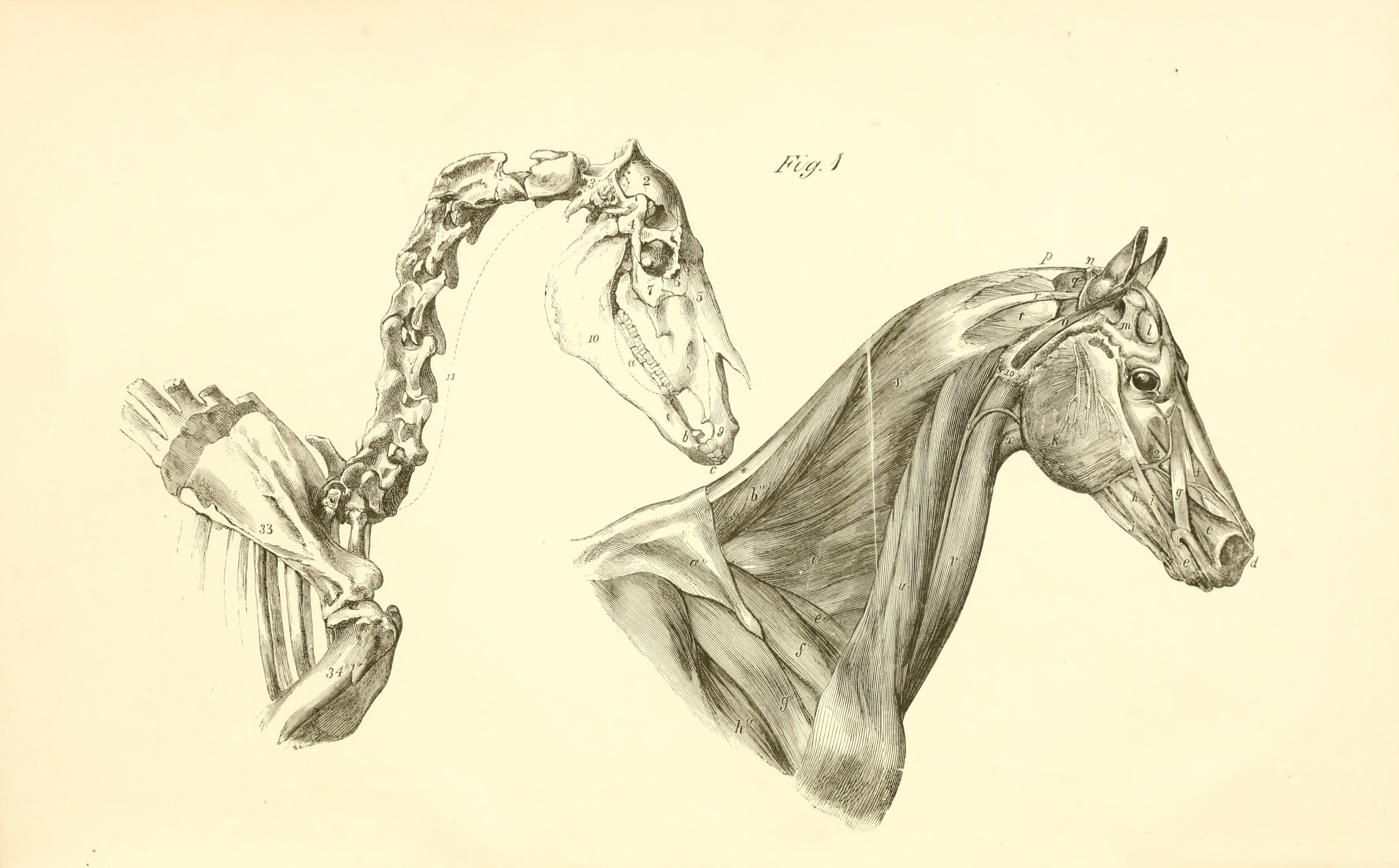 Filethe Anatomy And Physiology Of The Horse Bhl19829878g