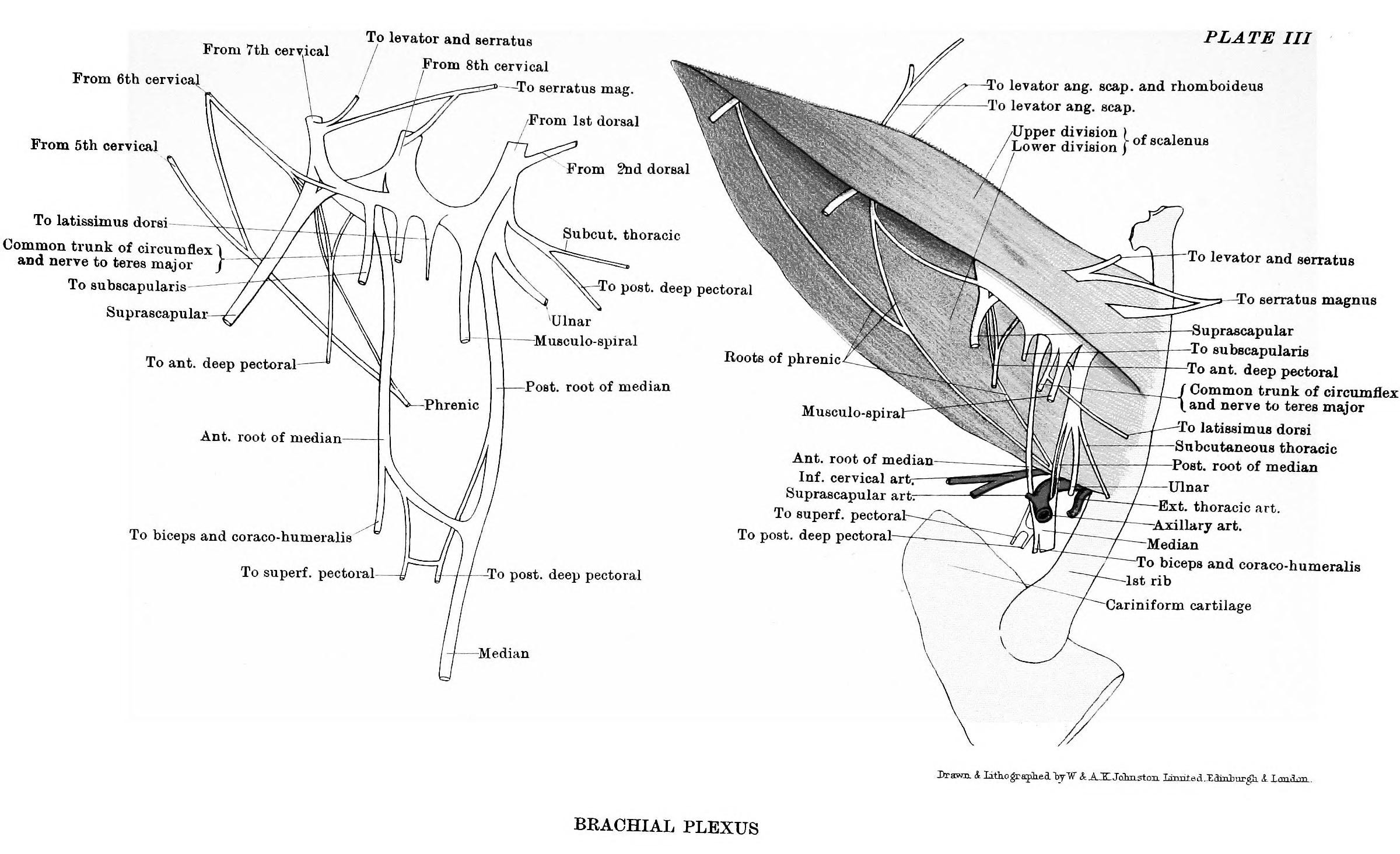 File:The anatomy of the horse, a dissection guide (1902 ...