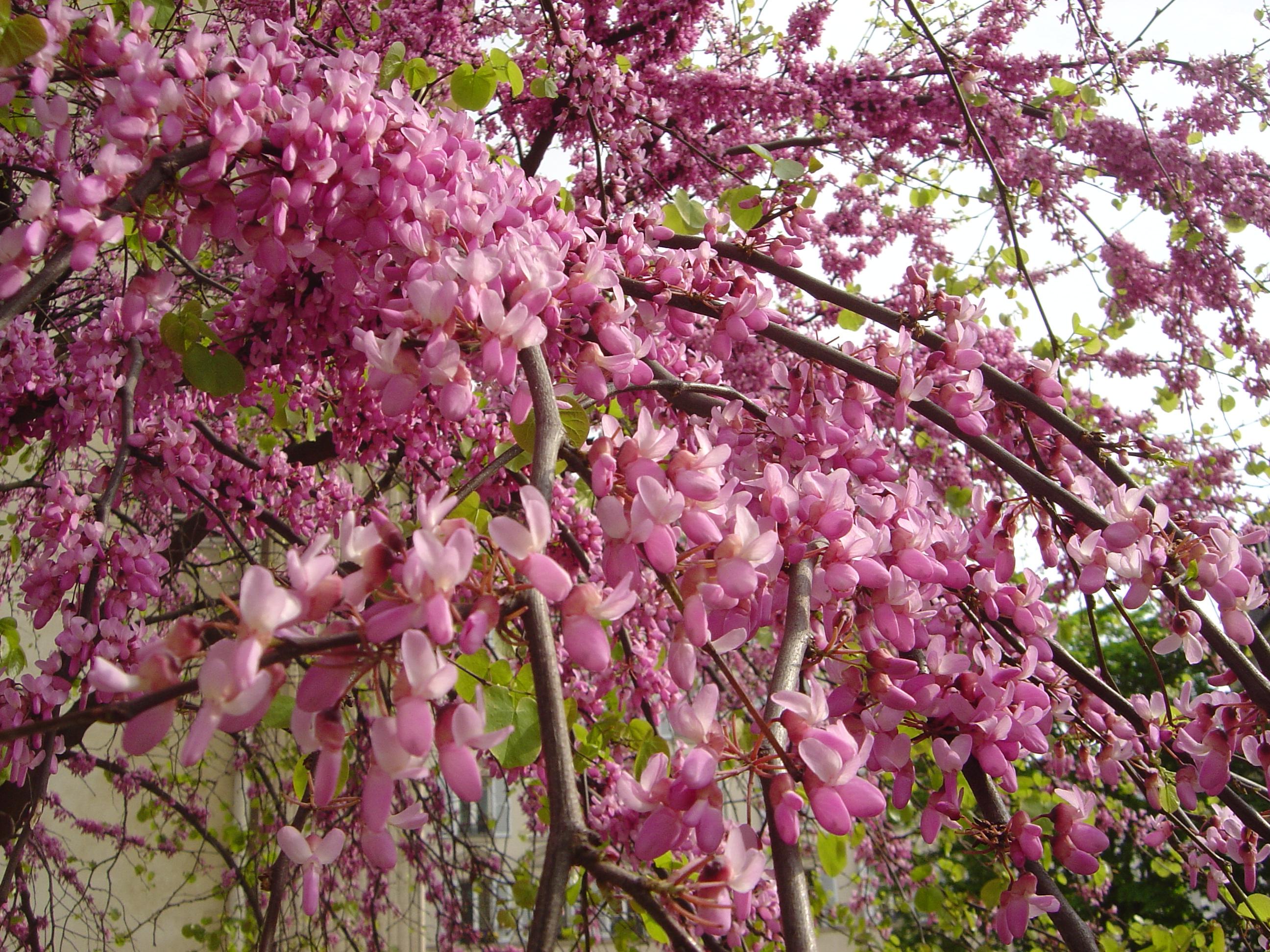 File Tree flower dsc Wikimedia mons
