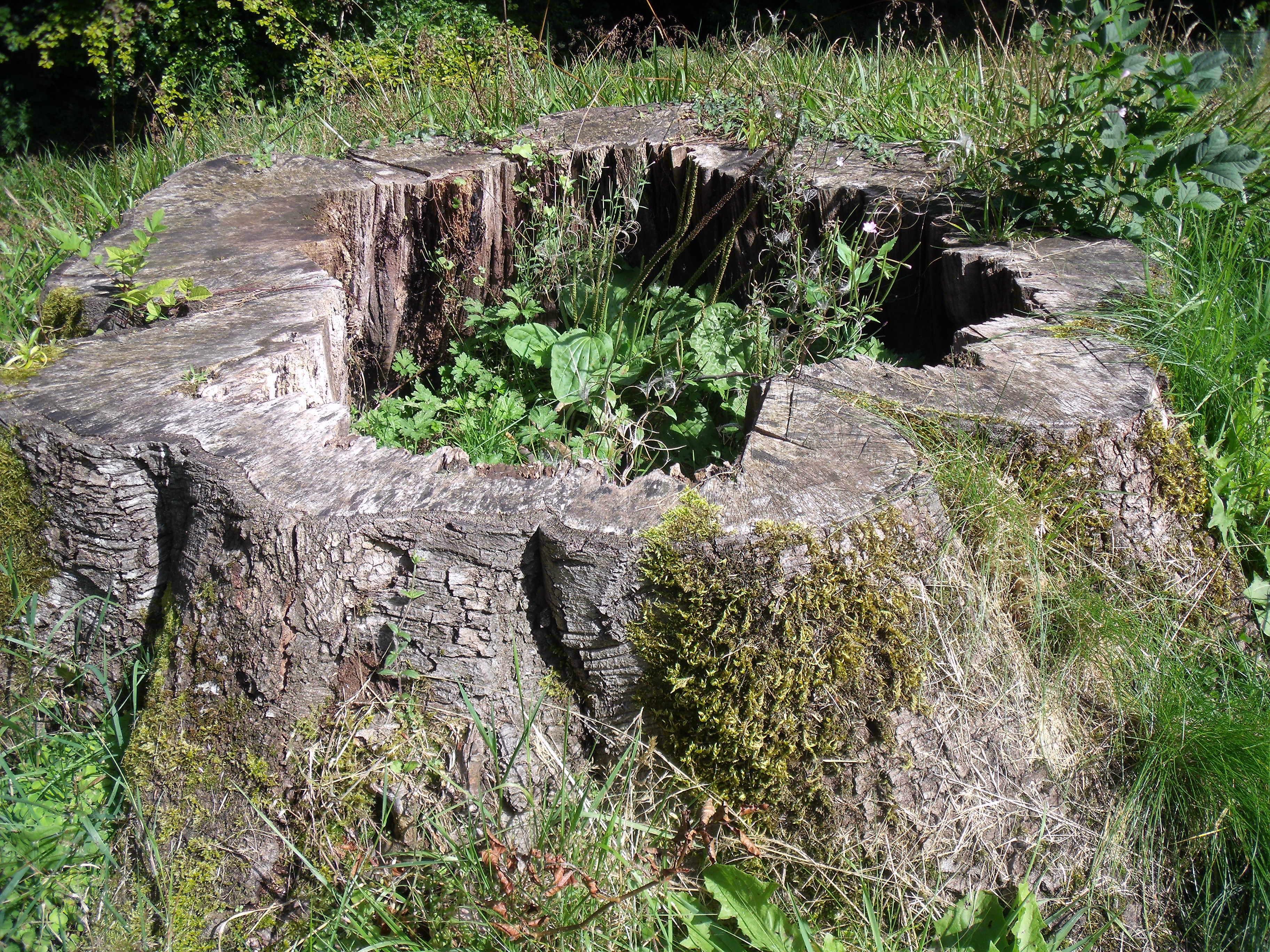 File Tree Stump In Geilston Garden Jpg Wikimedia Commons