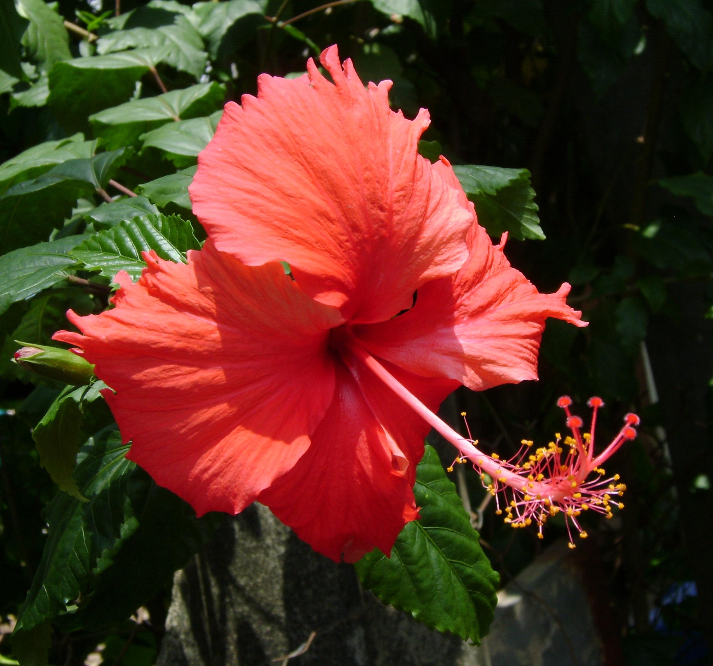 File:Vietnamese Hibiscus (Hoa râm bụt).JPG - Wikimedia Commons