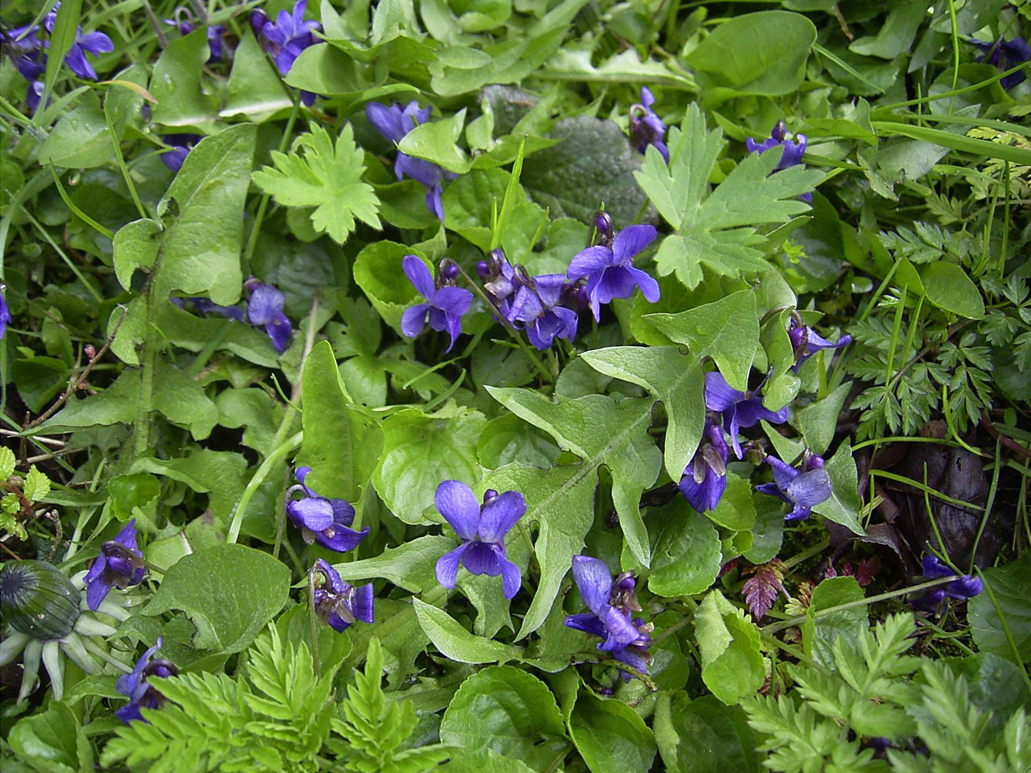 File:Viola-odorata-plants.jpg - Wikimedia Commons Ljubicica