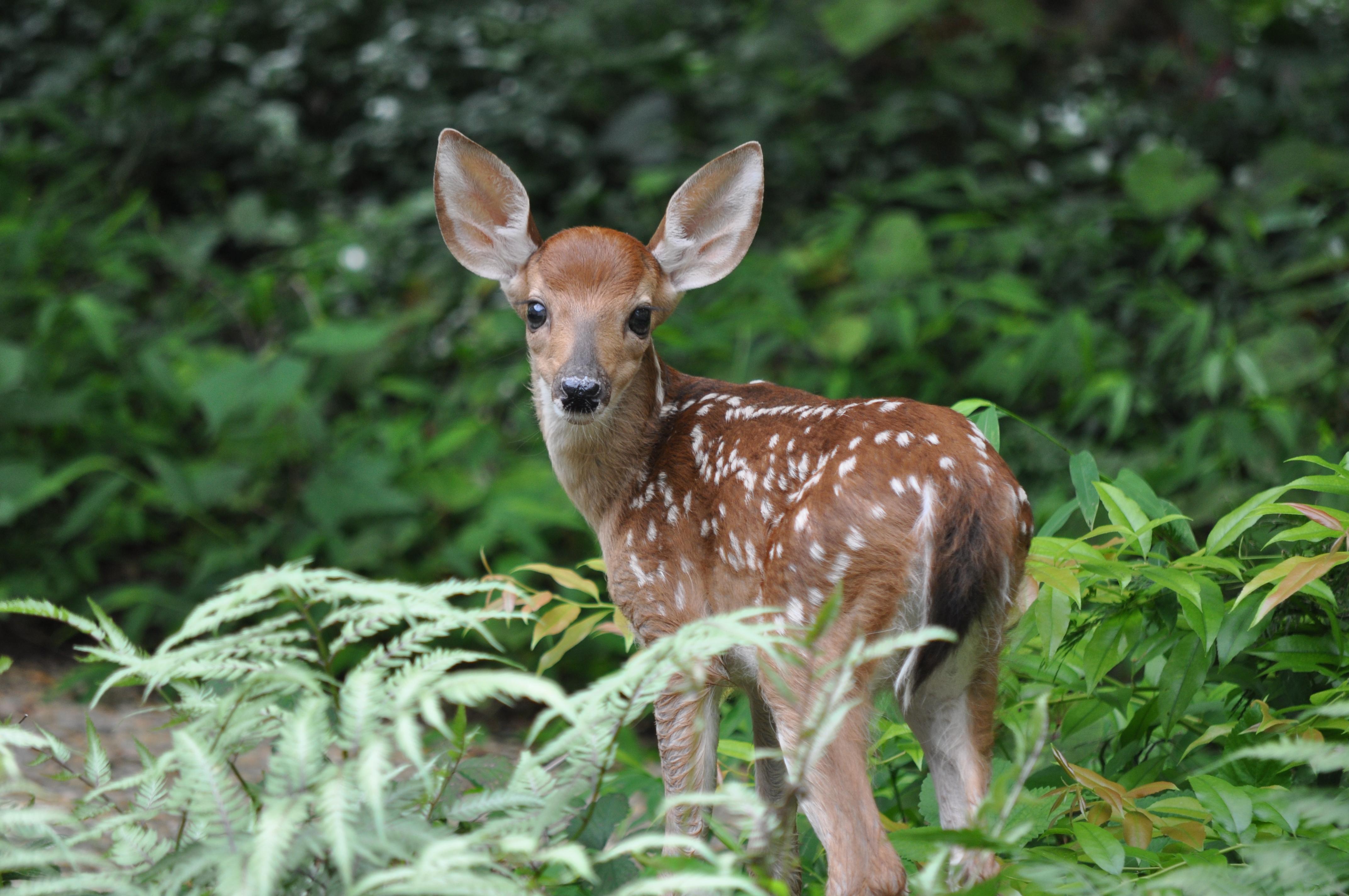 Will Deer Eat Trumpet Vines On Vancouver Island