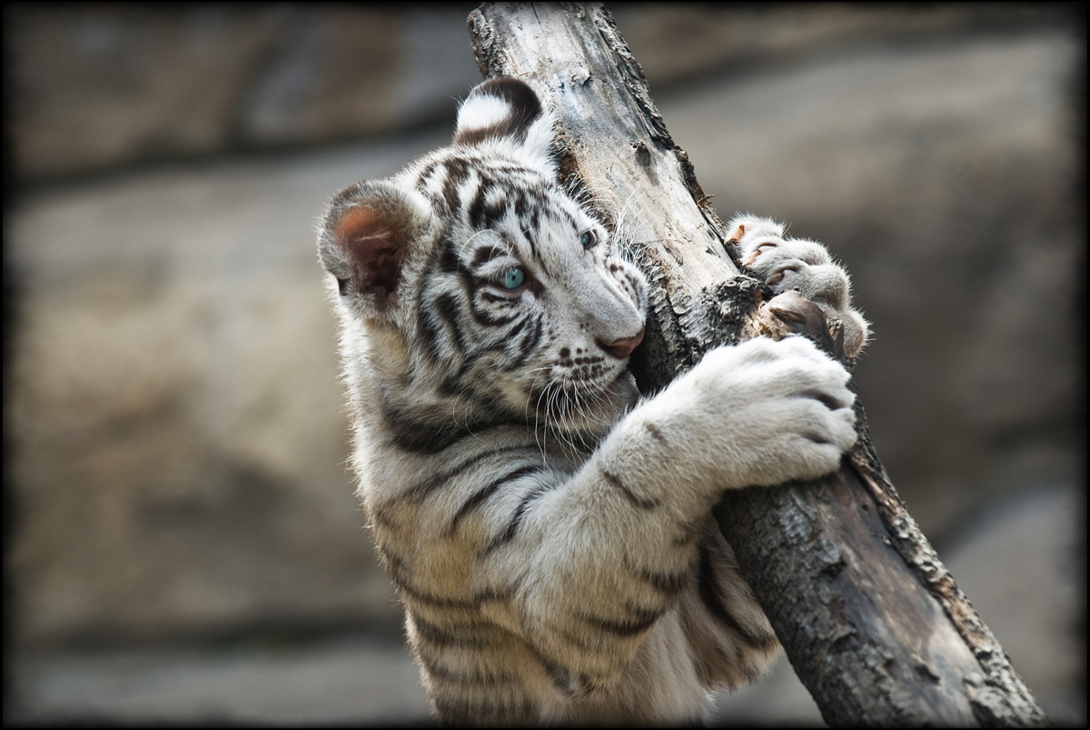 file white tiger in the moscow zoo     wikimedia commons