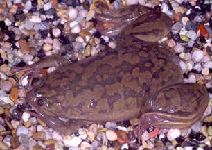 <i>Xenopus</i> Genus of amphibians