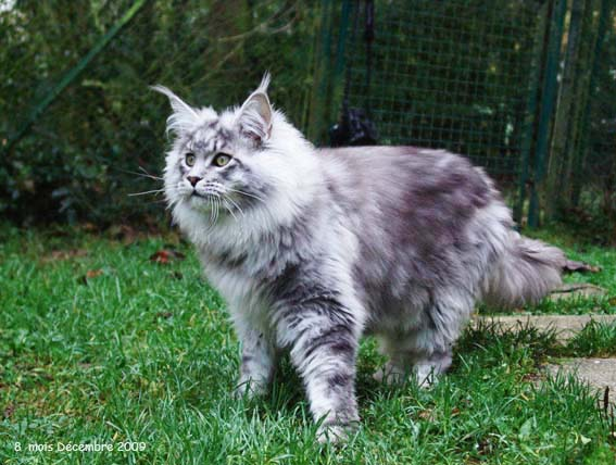 chat maine coon prix