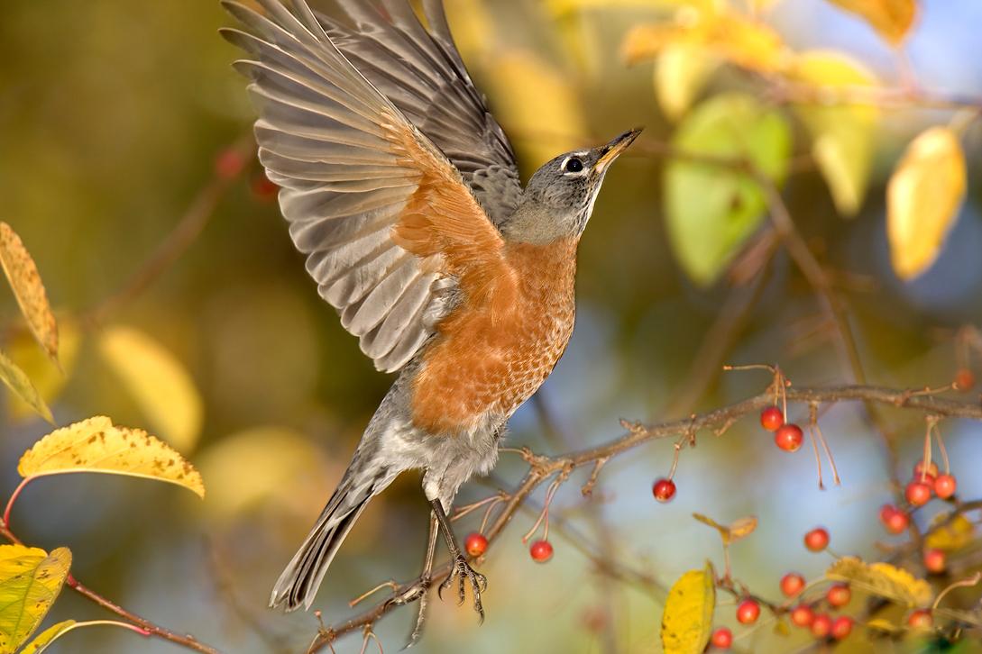 american robin bird flying - photo #45