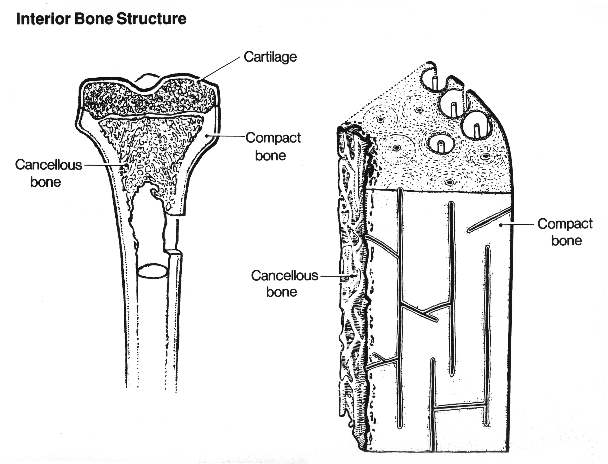 File:Anatomy- bone.jpg - Wikimedia Commons