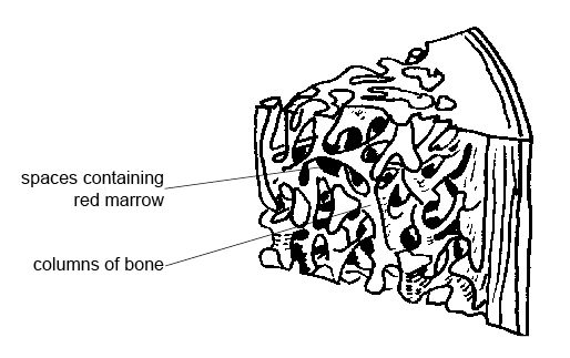 Anatomy and physiology of animals Spongy bone.jpg