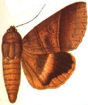 <i>Ophiusa hituense</i> species of insect