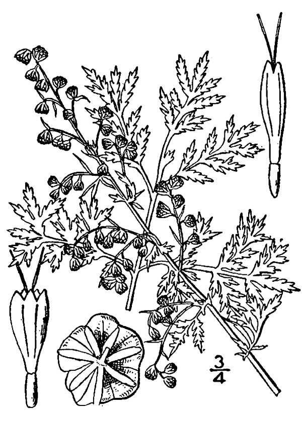 Artemisia annua(01).jpg