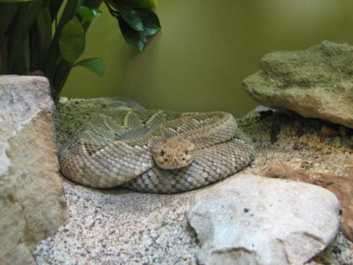 photo of rattle snake