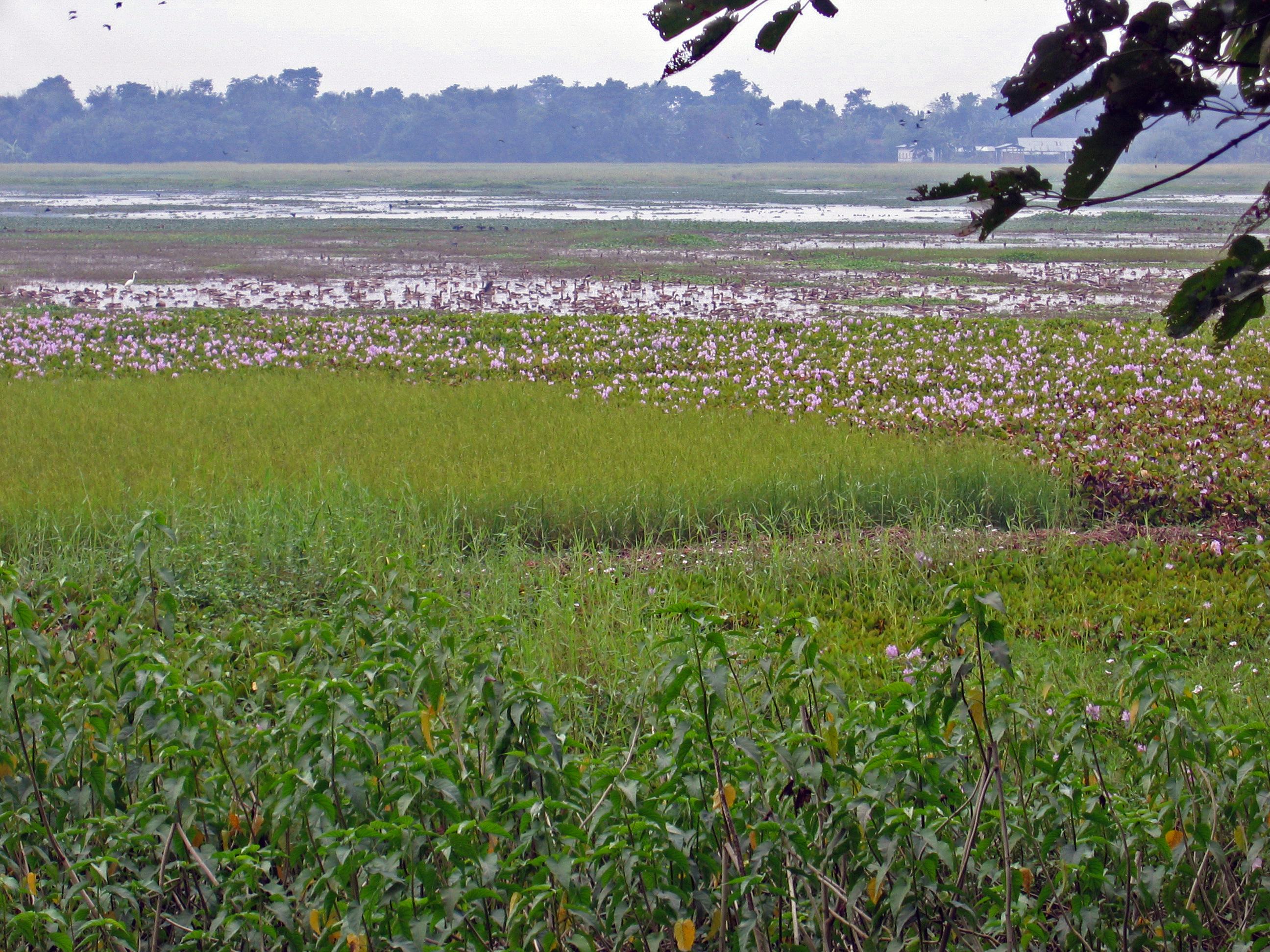 One of the wetlands of Majuli