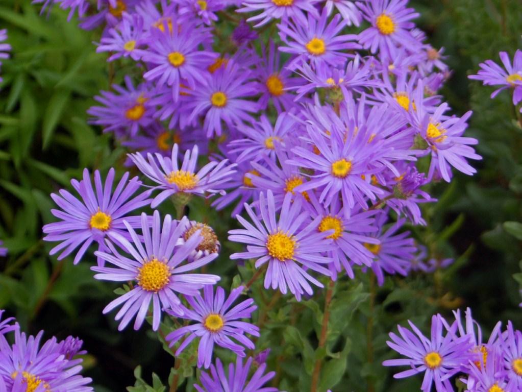 File asteraceae aster amellus jpg wikimedia commons Flowers that bloom in september