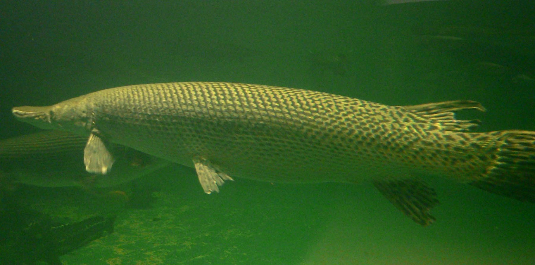 File atractosteus spatula wikimedia commons for Florida gar fish