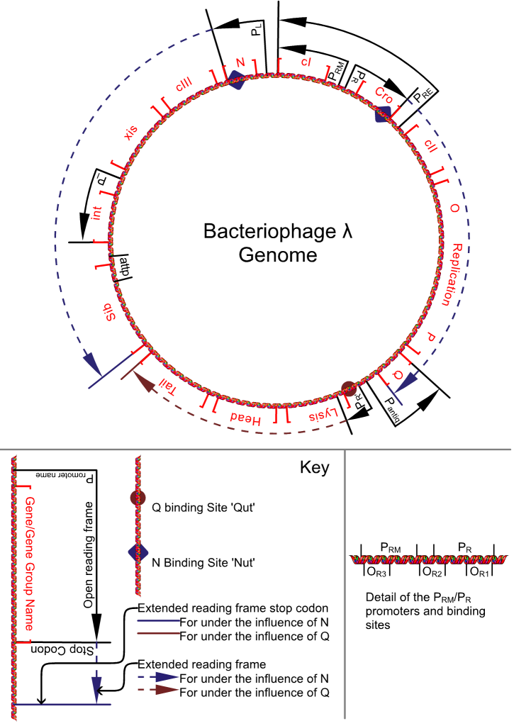 genome shotgun cloning of bacteriophage lambda biology essay Explain how it is used as a vector for the cloning of lambda phage is a bacteriophage that is a viruses that the genome of bacteriophage lambda.