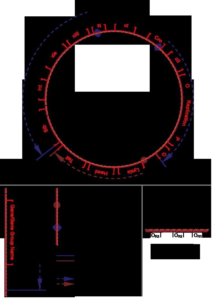 File Bacteriophage Lambda Genome Png Wikimedia Commons