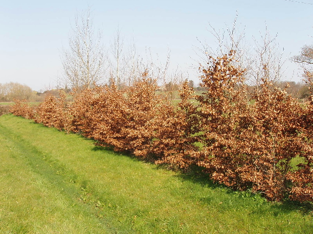 File Beech Hedge Horton Cum Studley Geograph Org Uk