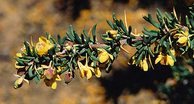 Berberis Empetrifolia Wikipedia