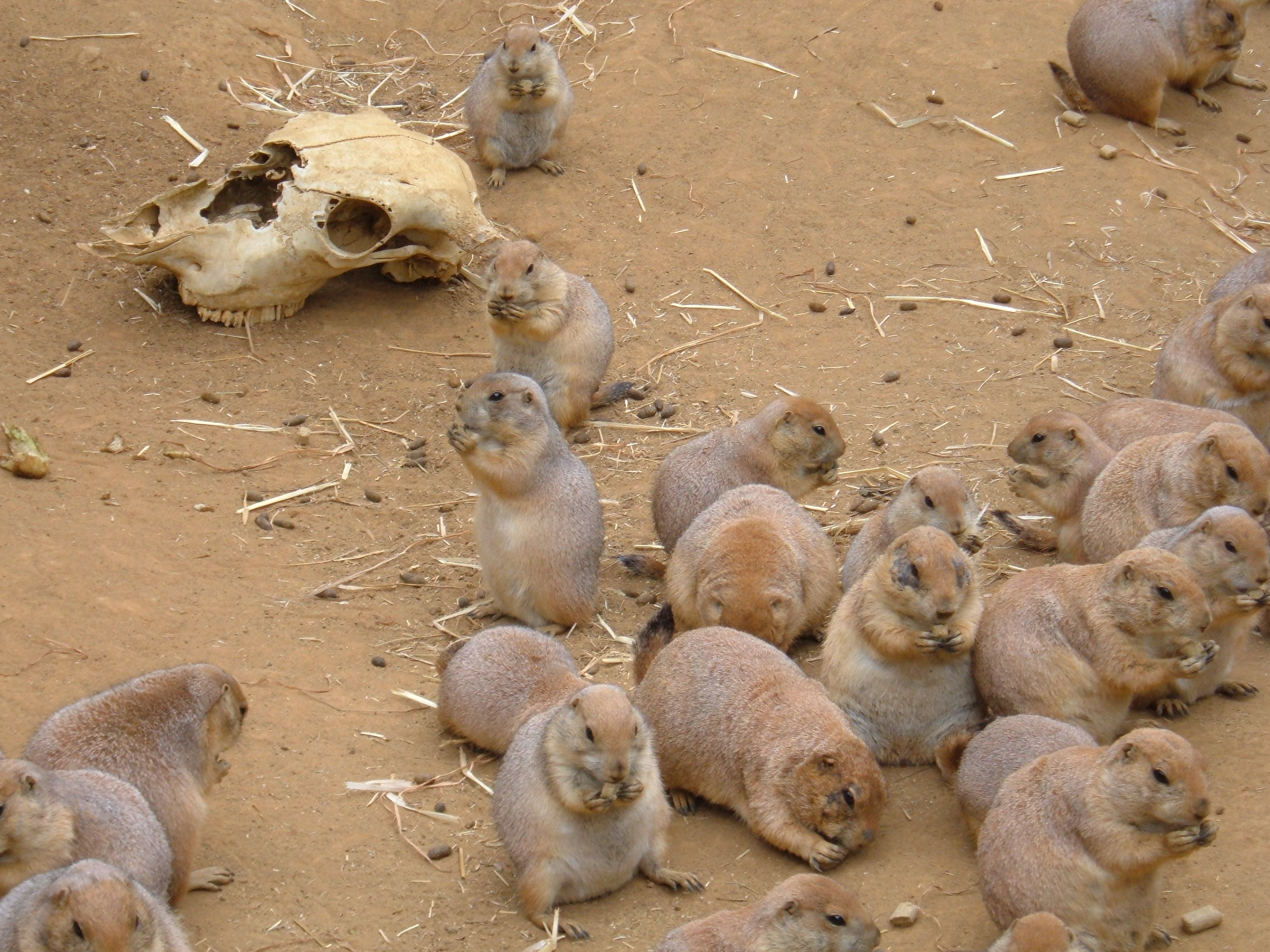 Prairie Dog Pet Treats