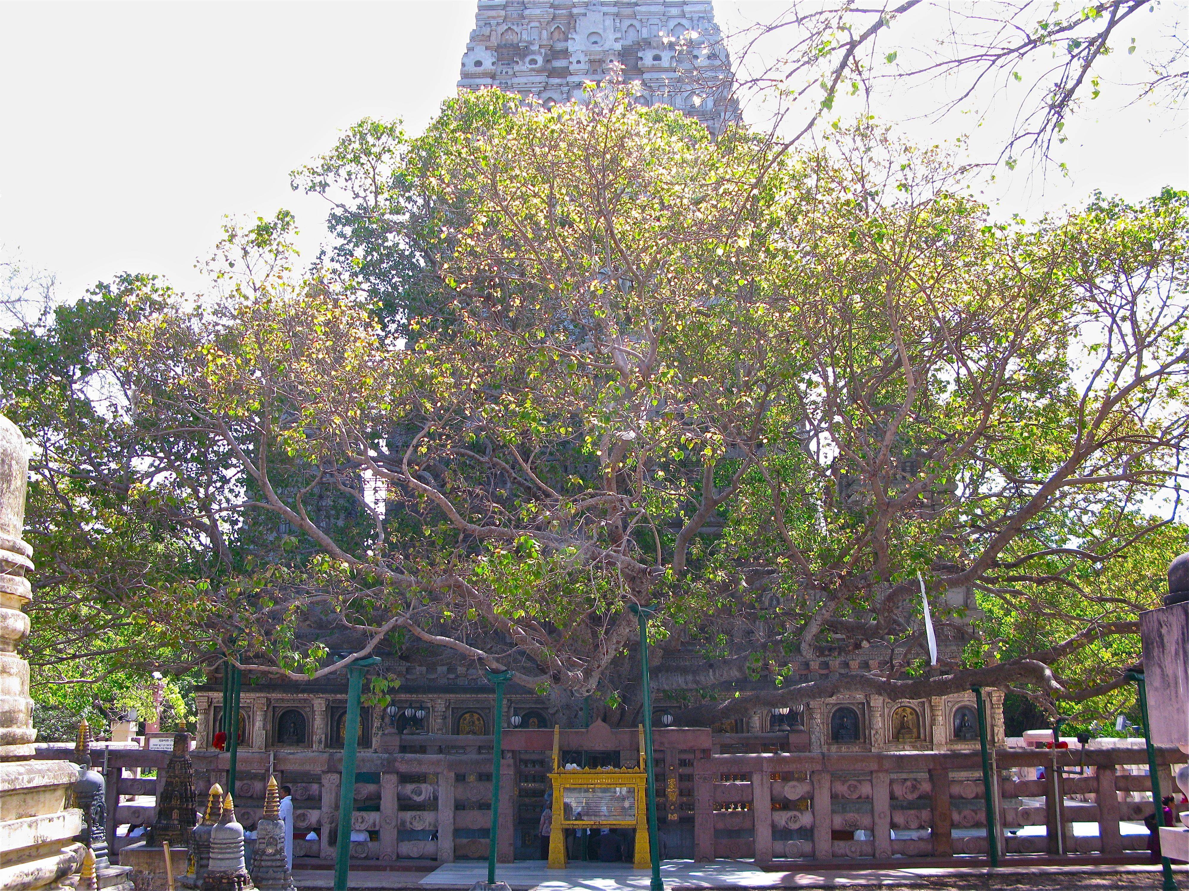 Фикус священный - Sri Maha Bodhiya