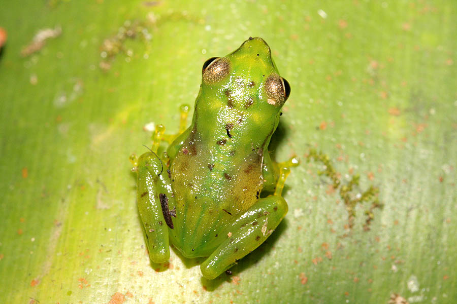Depiction of Boophis