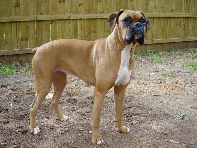 Female Boxer Dog For Sale