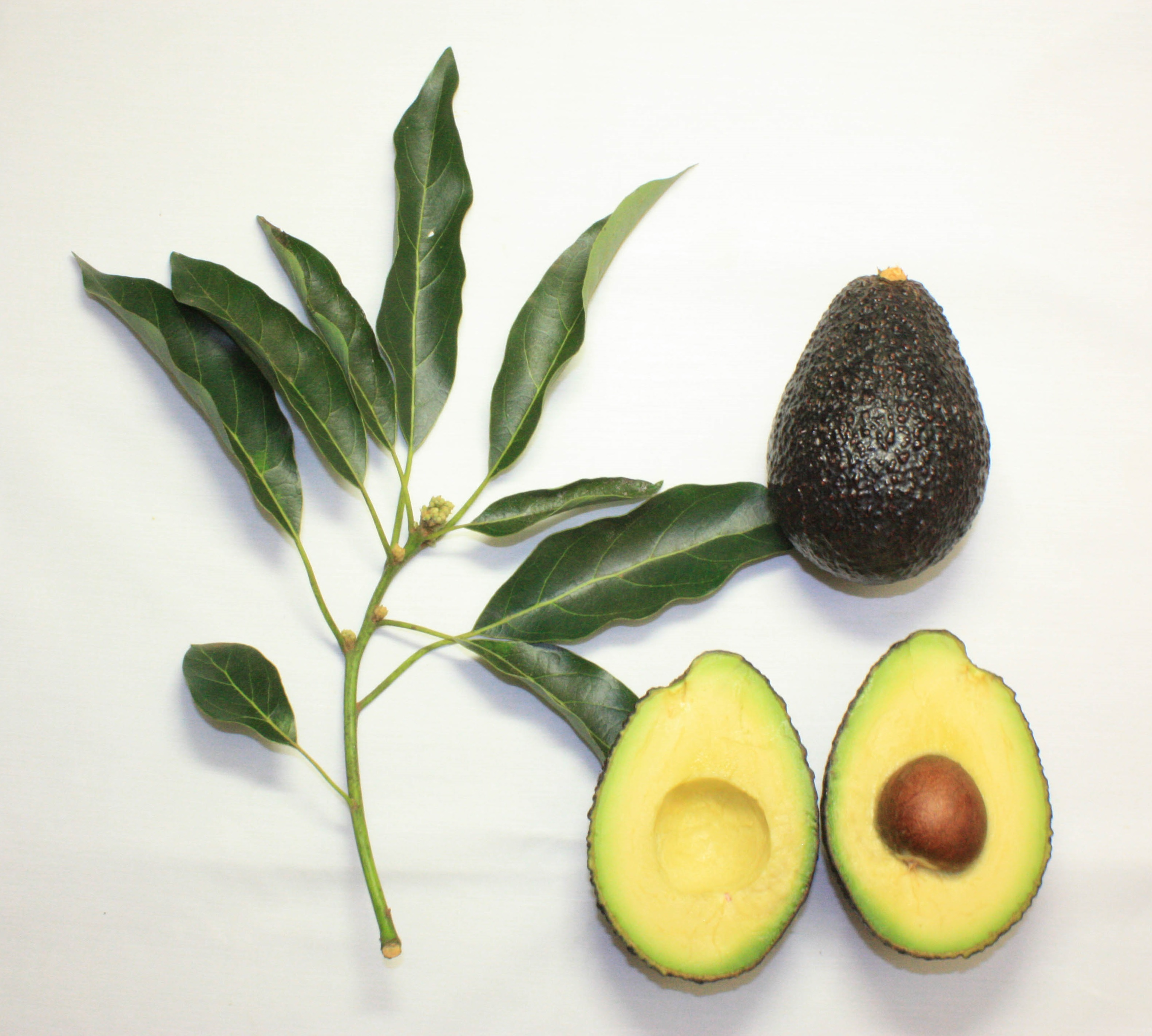 Maluma (avocado) - Wikipedia