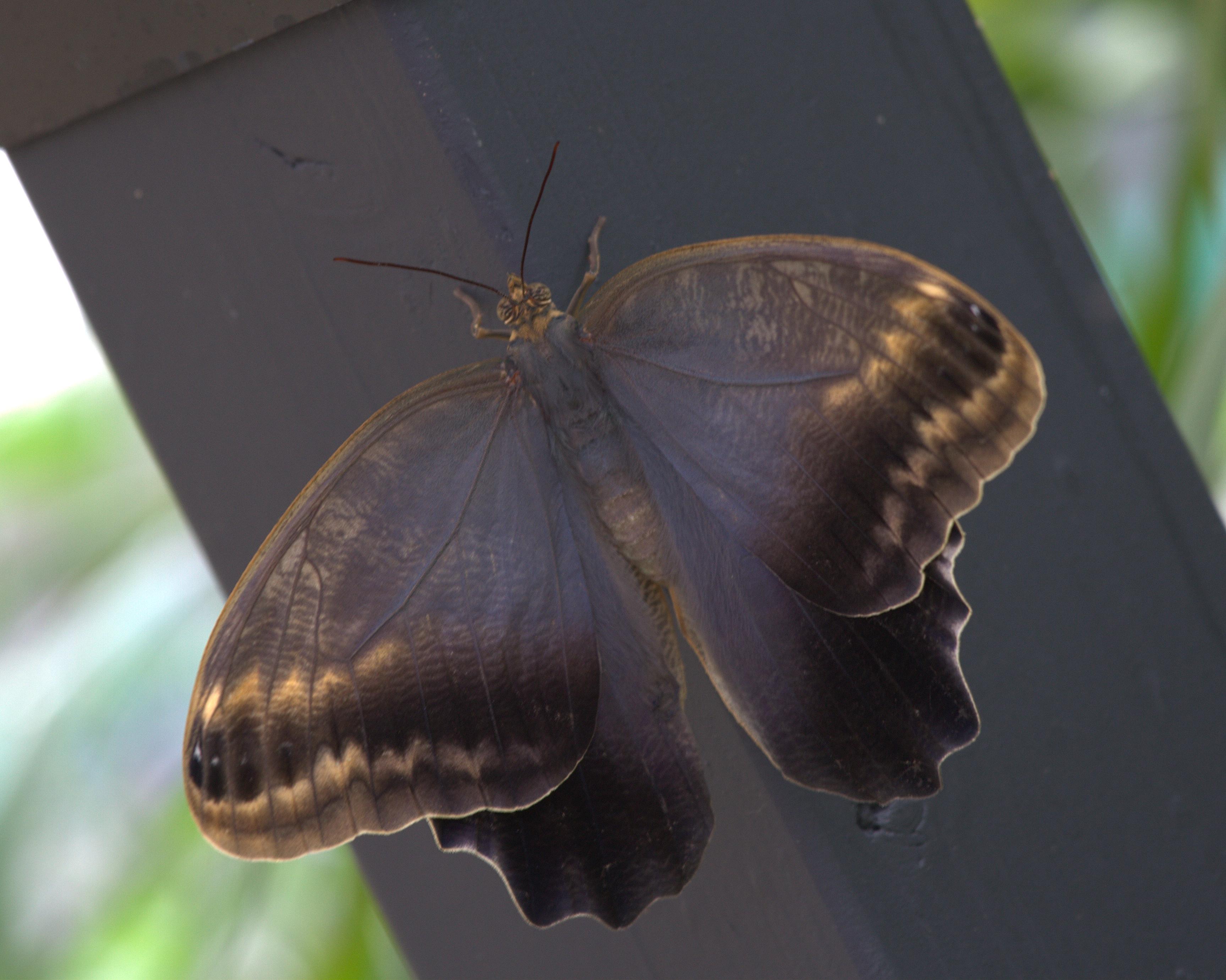 Caligo telamonius memnon - Wikipedia