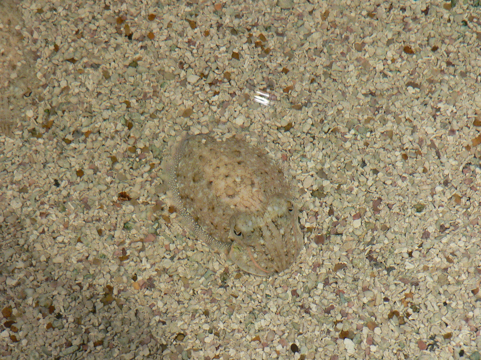 Photo of cuttlefish against mottled sea bottom