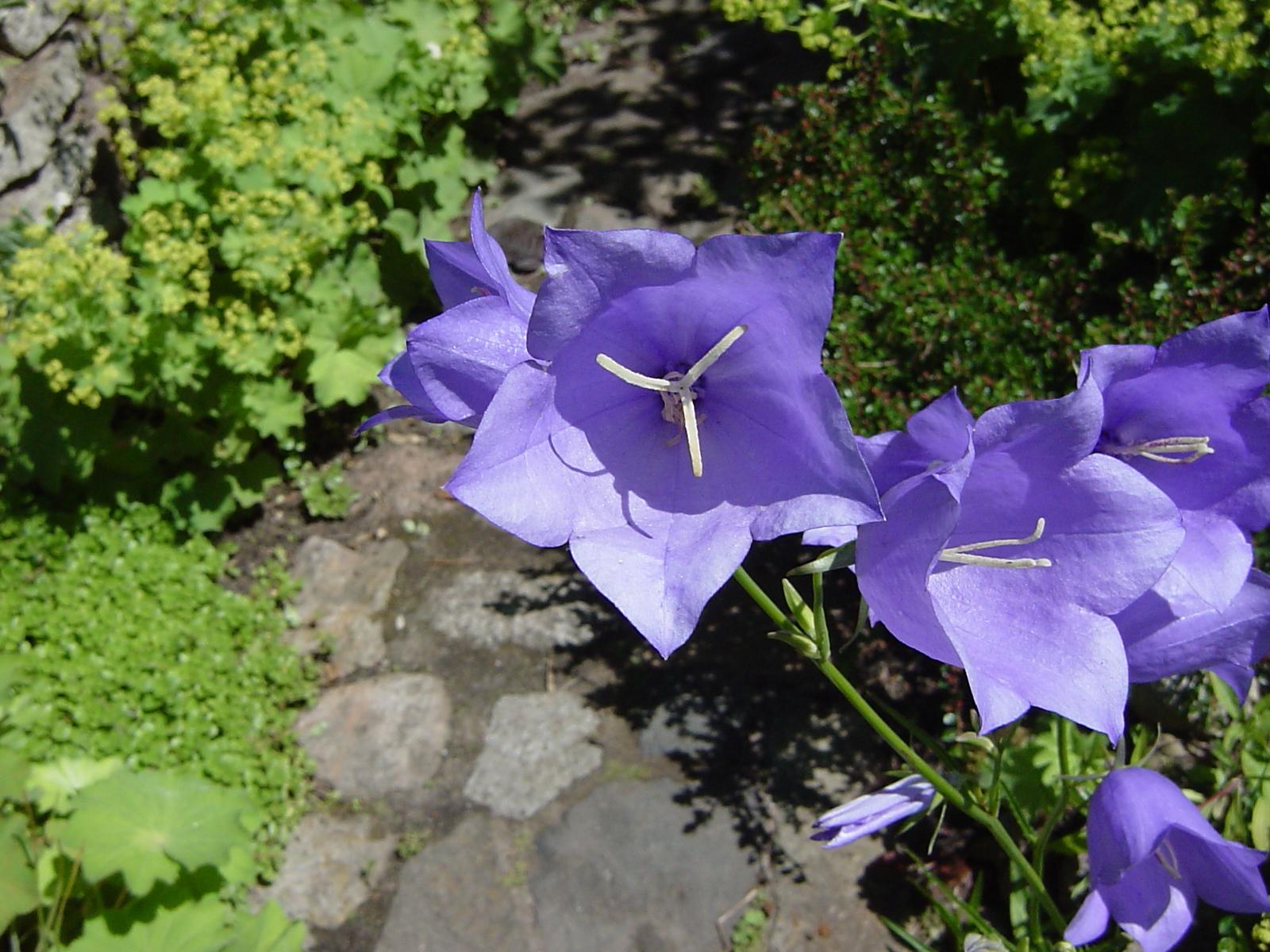 File:Campanula persicifolia 01-Juni.jpg ...