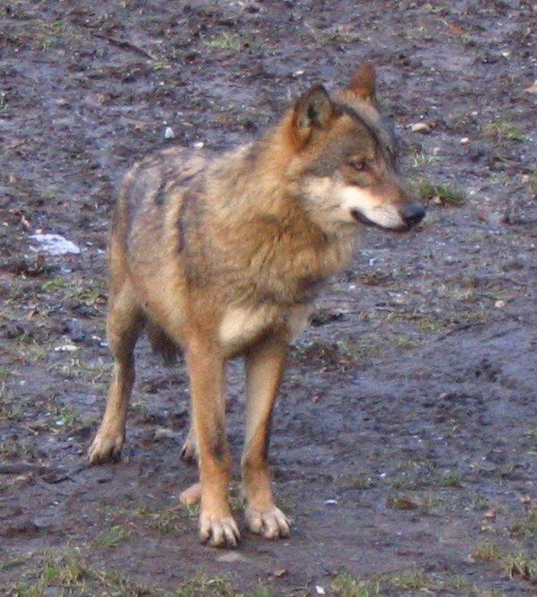 Közönséges farkas – Wikipédia