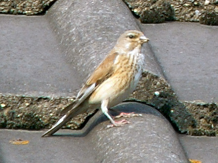 File:Carduelis cannabina female.jpg