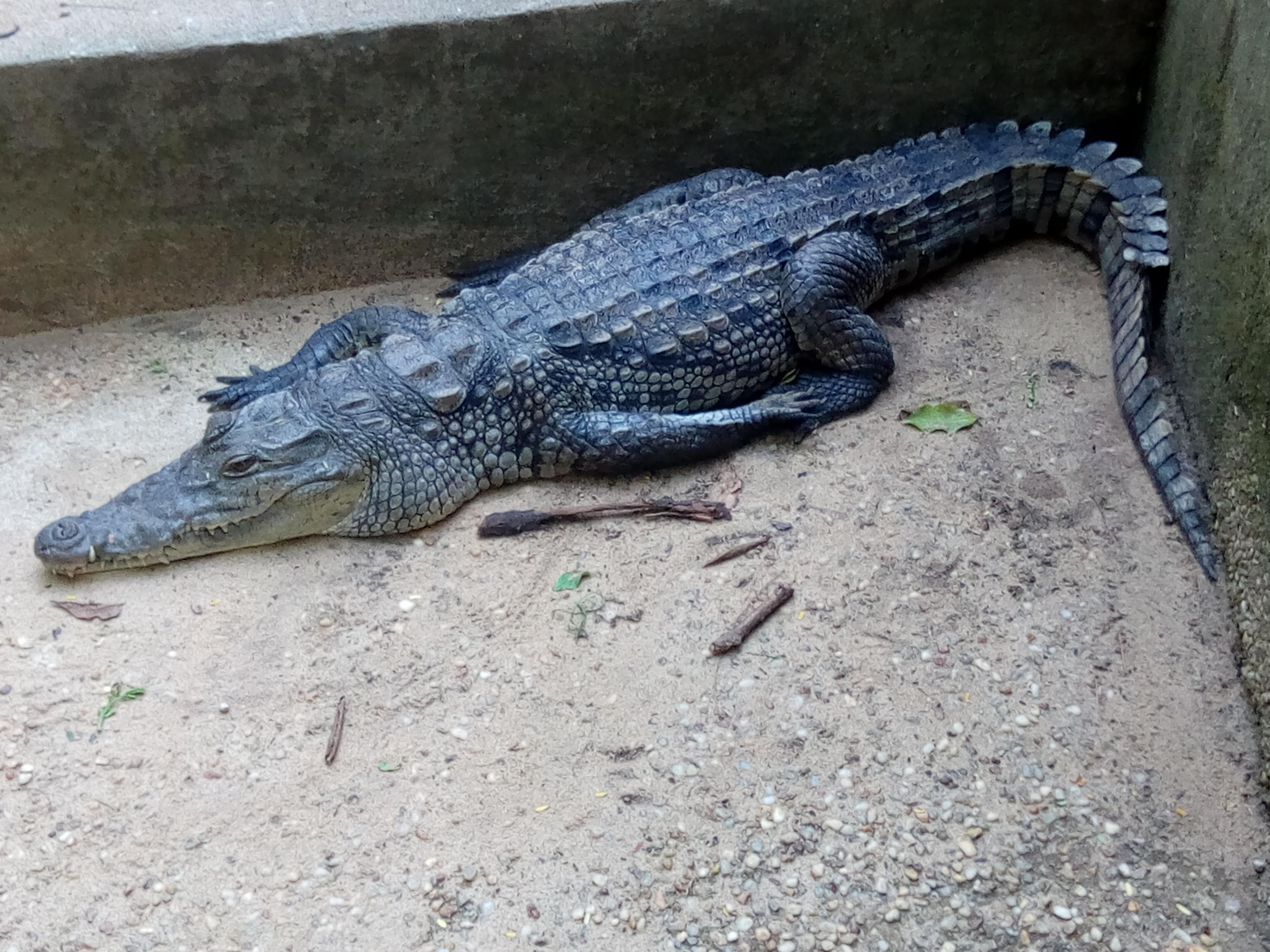 File Crocrodile Nain Au Jardin Botanique Et Zoologique Uac Benin Jpg Wikimedia Commons