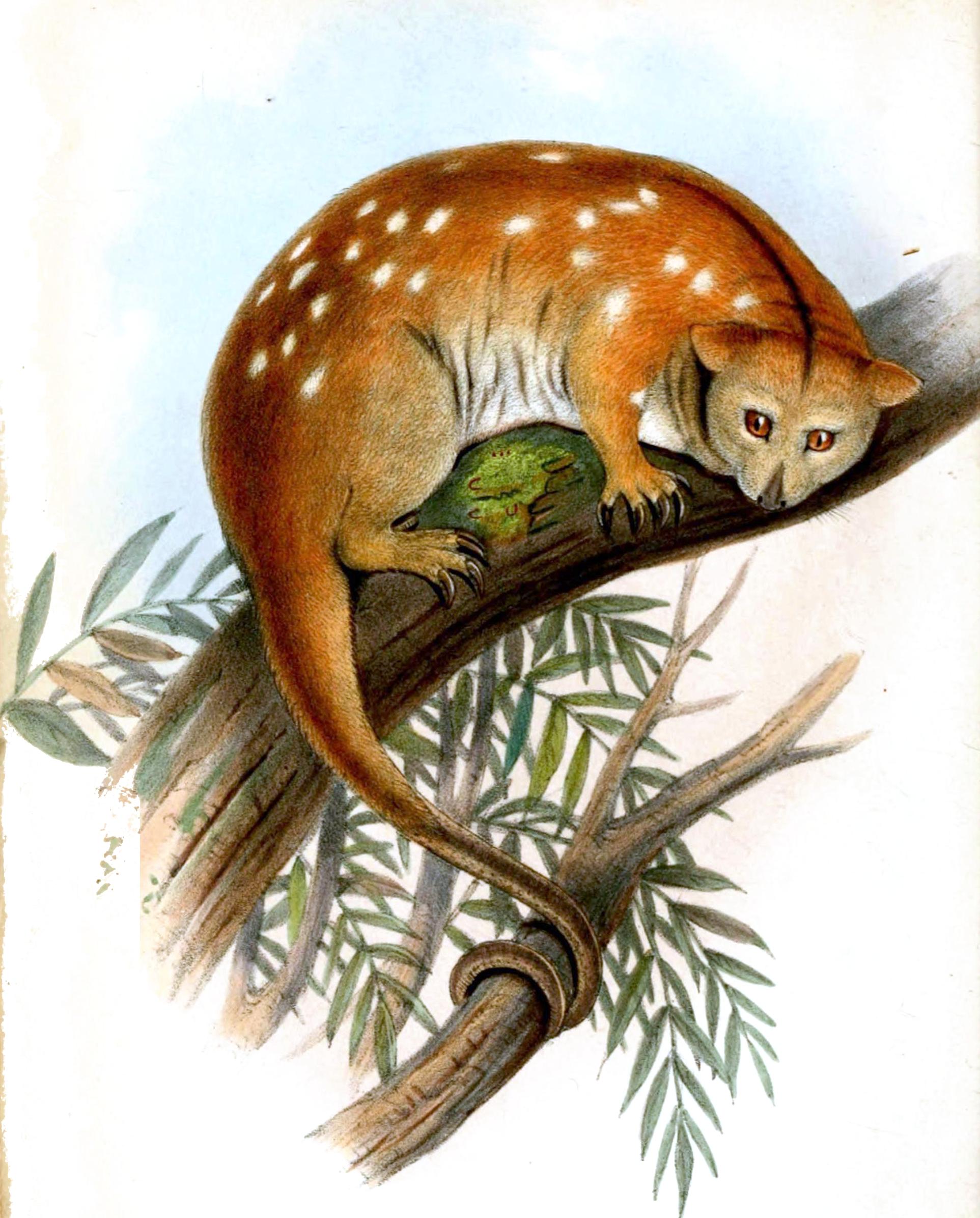 el animal cuscús en la wikipedia