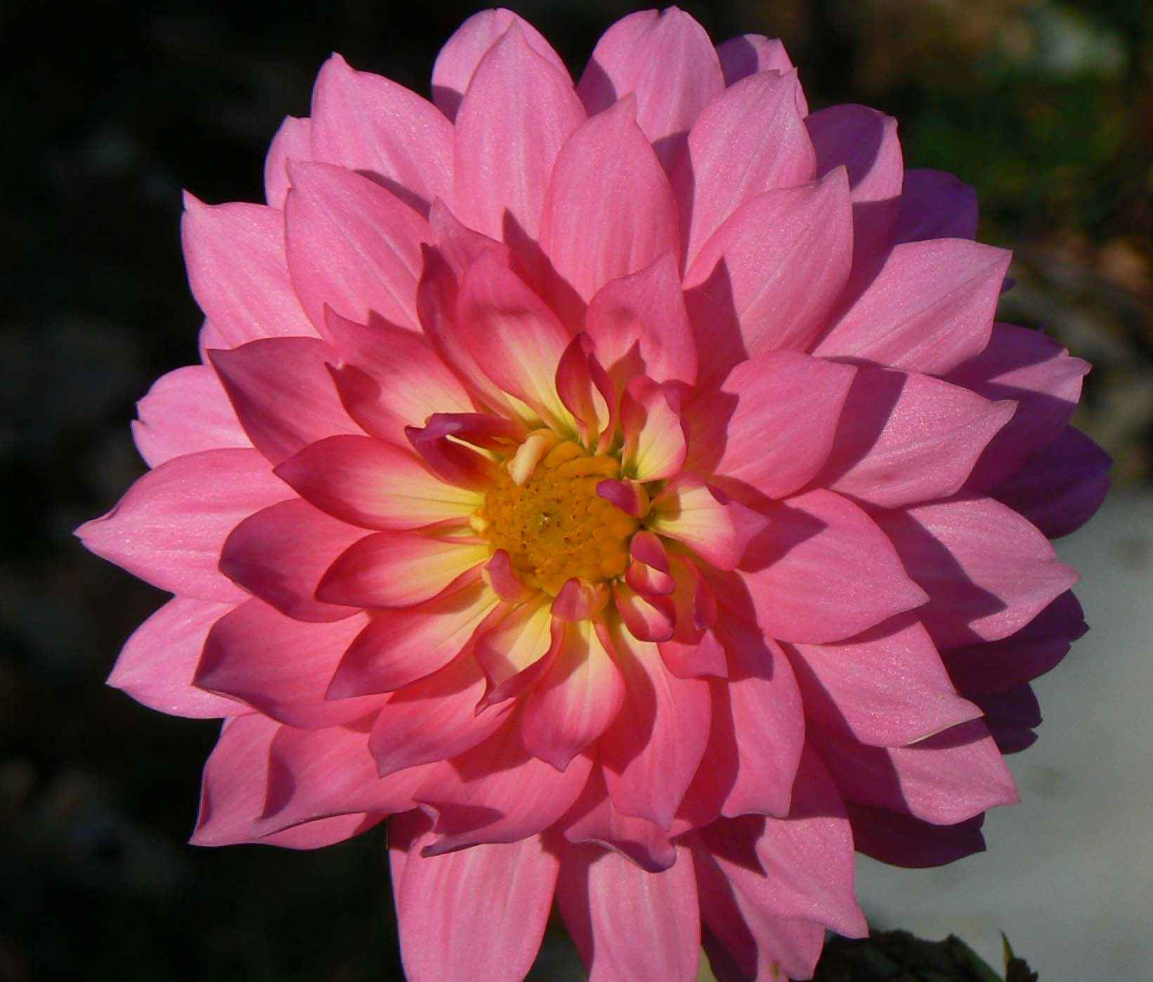 Filedahlia Flower Petals Pink Dahliag Wikimedia Commons