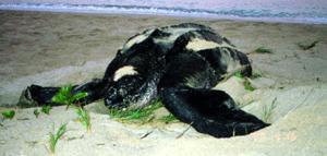 Lederschildkröte Dermochelys coriacea