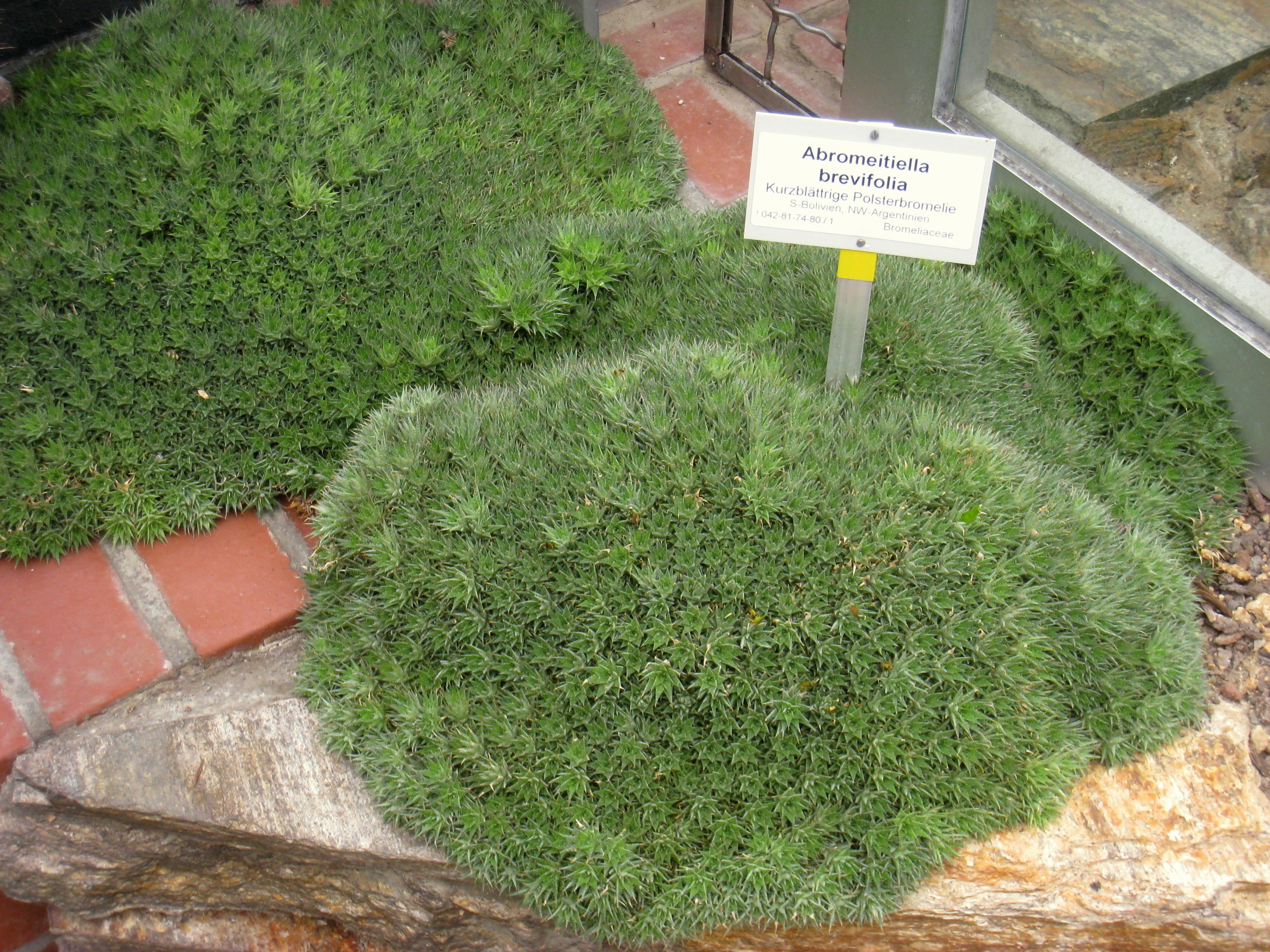 File:Deuterocohnia Brevifolia   Berlin Botanical Garden   IMG 8768