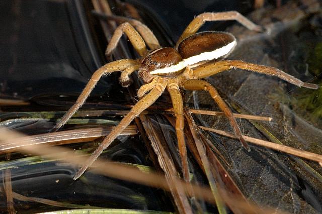 https://upload.wikimedia.org/wikipedia/commons/e/e4/Dolomedes.fimbriatus2.-.lindsey.jpg