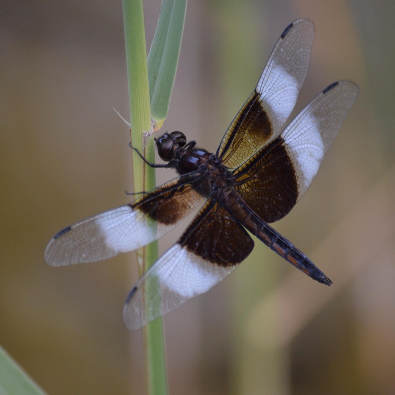 filedragonfly 5jpg wikimedia commons
