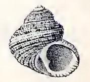 Euchelus pullatus 001.jpg