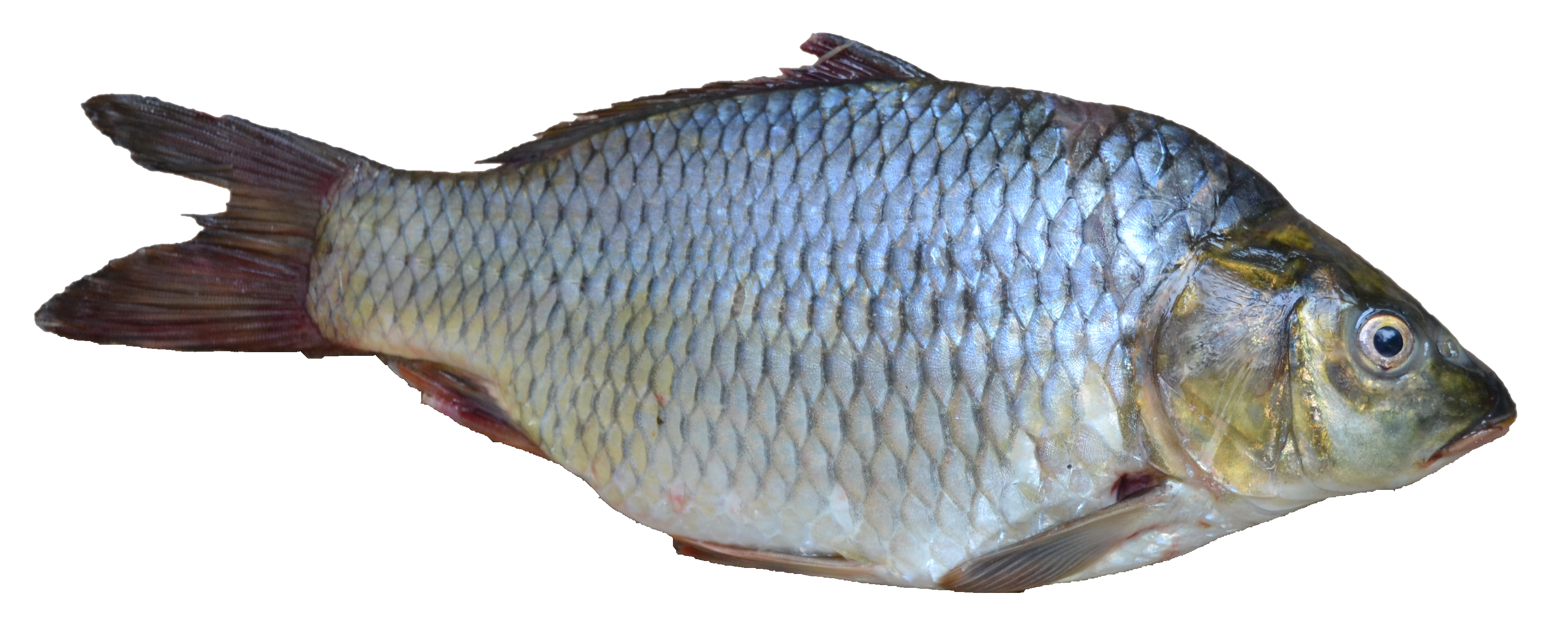 File fish puntius sarana from kerala india png for Koi pond india