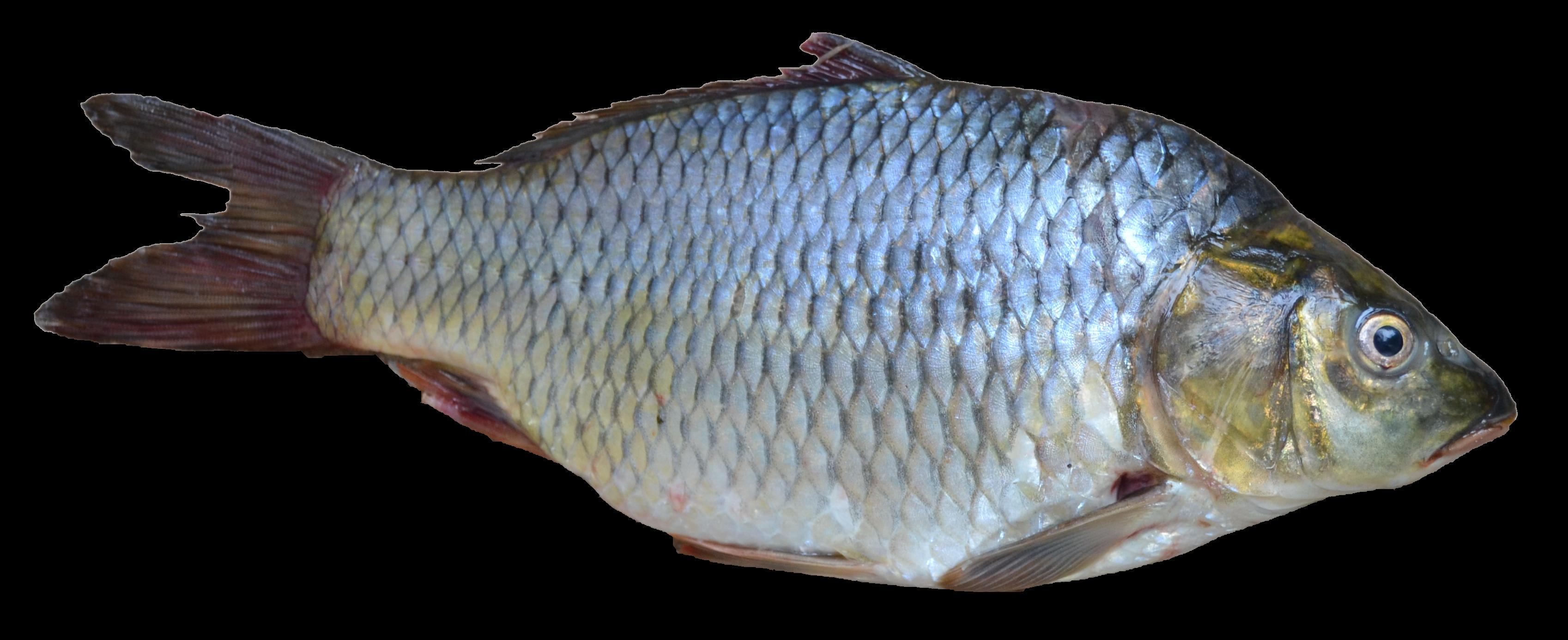 Fish of india for Kumak s fish