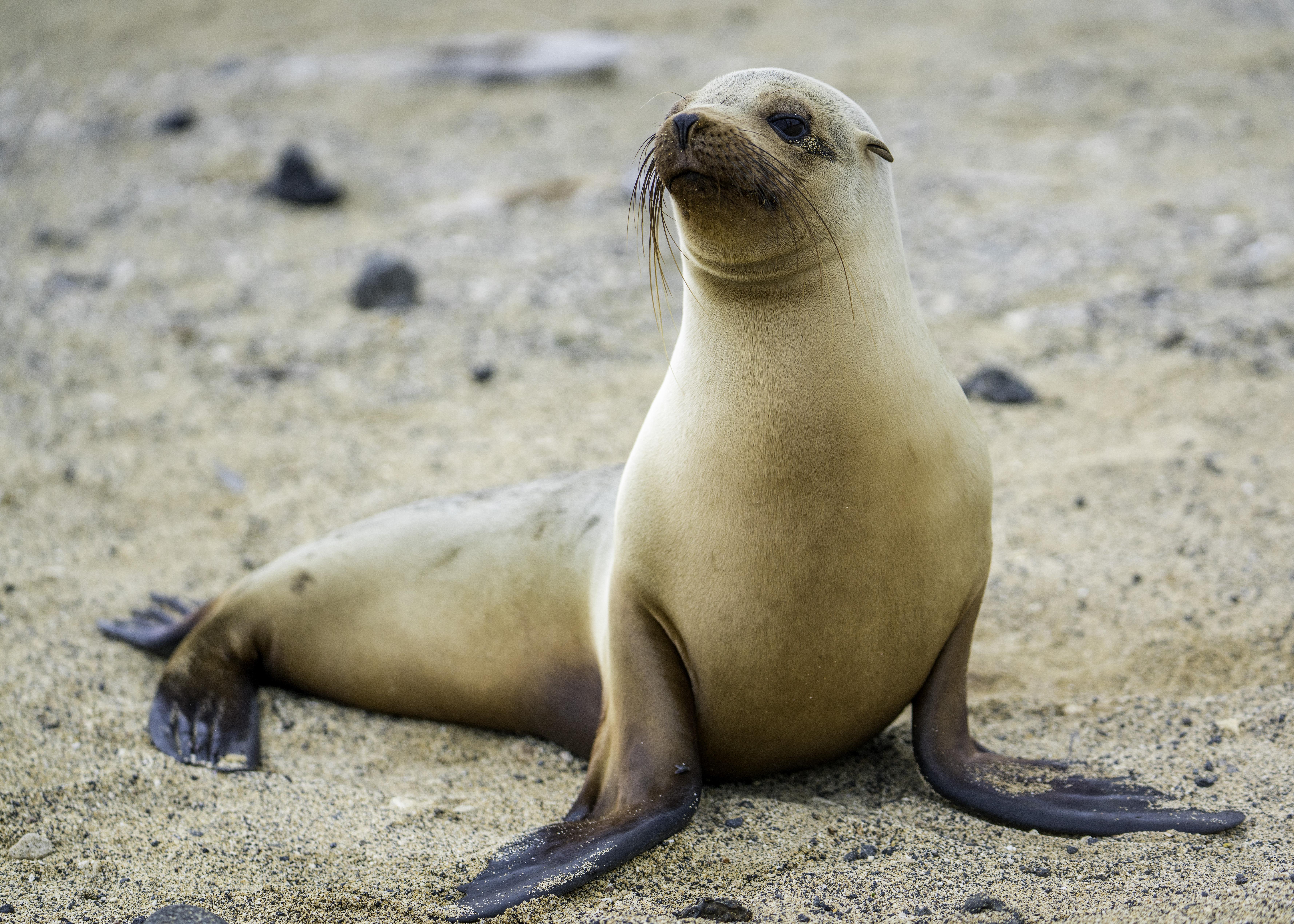 Galapagos Sea Lion Wikipedia