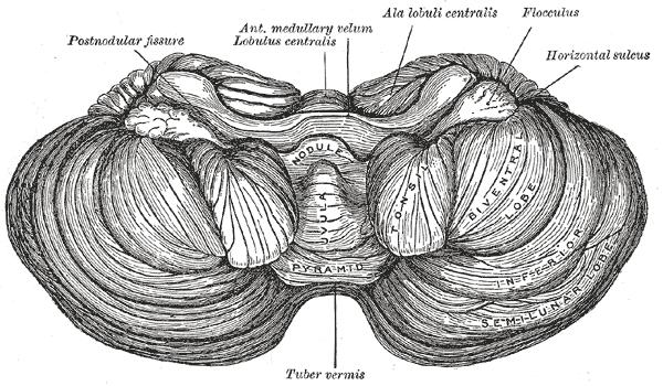 Cerebellar tonsil - Wikipedia