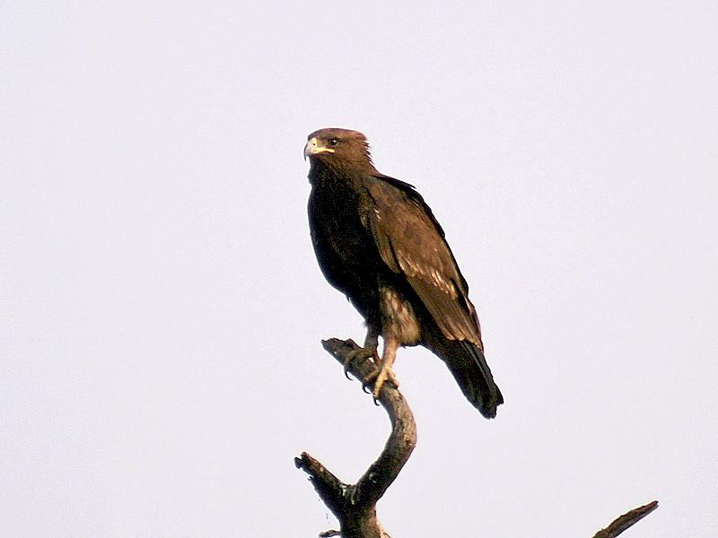 カラフトワシ - suur-konnakotkas - Greater Spotted Eagle