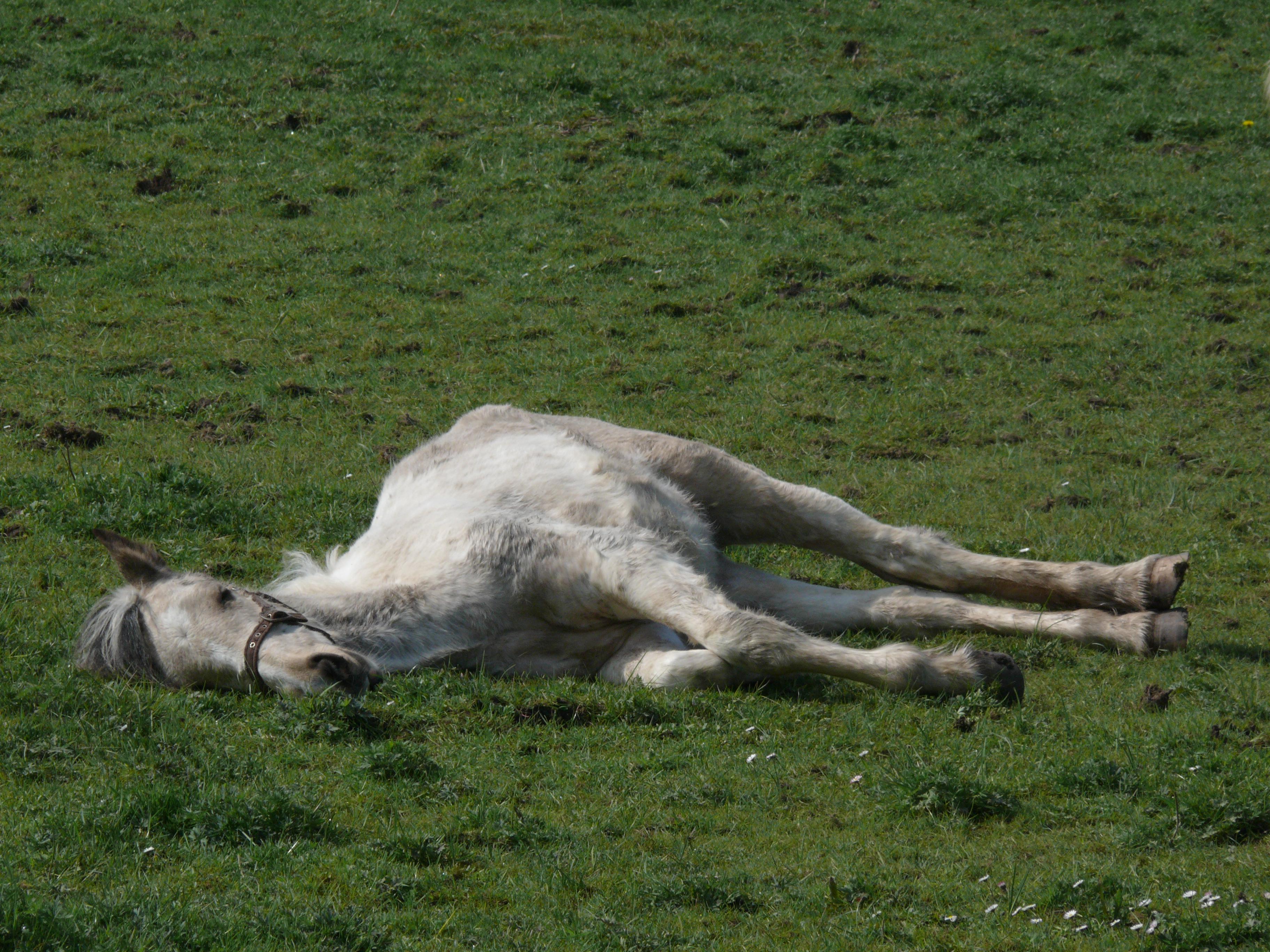 File:Grey horse lying down in field.jpg - Wikimedia Commons