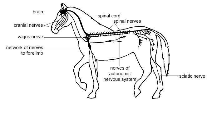 Nervová sústava je tvorená orgánmi: mozgom, miechou a nervami, organizmus tvoria sústavy orgánov
