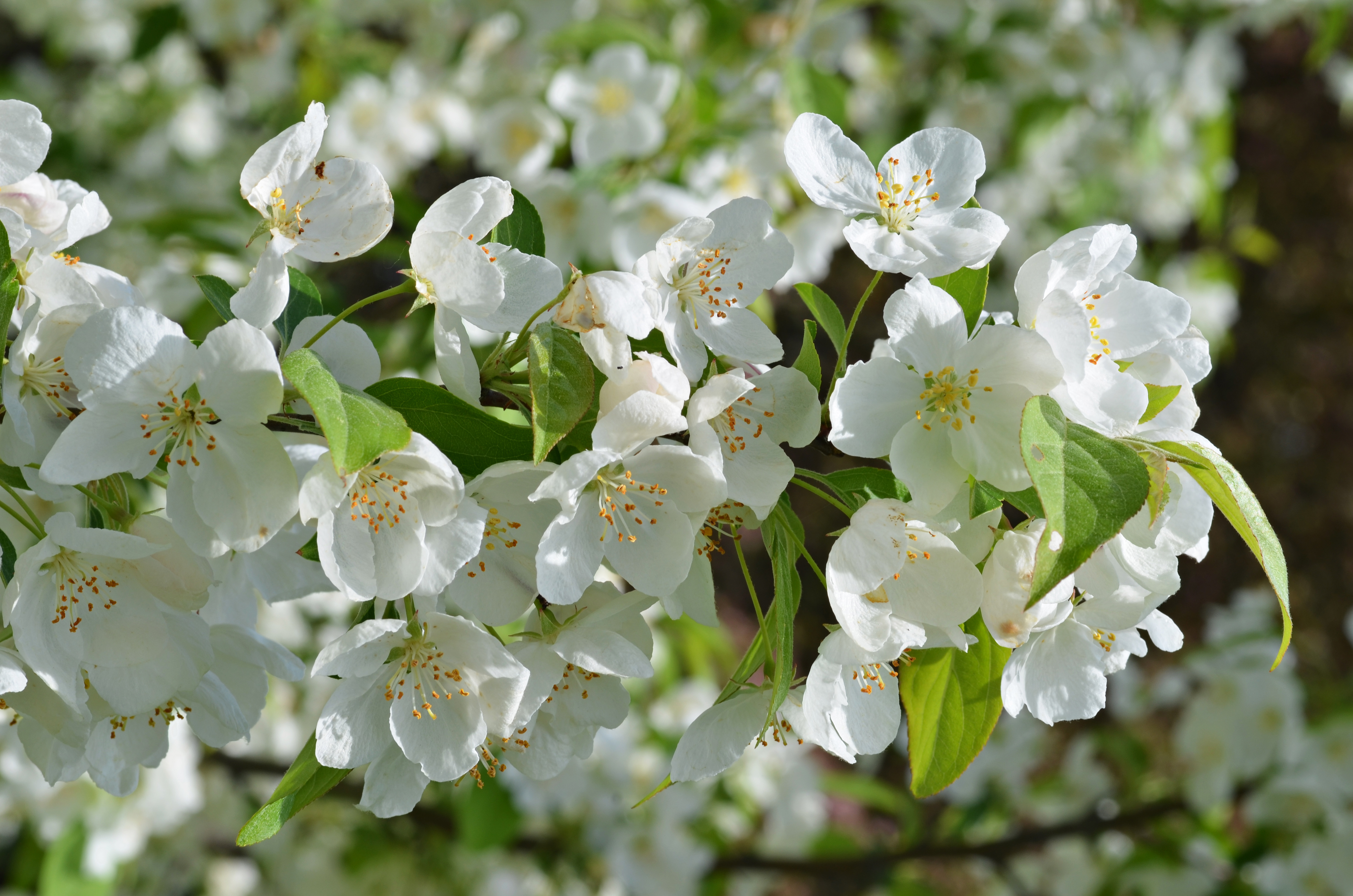 Filehybrid Crabapple Malus Snowdrift Flowers 1g Wikimedia