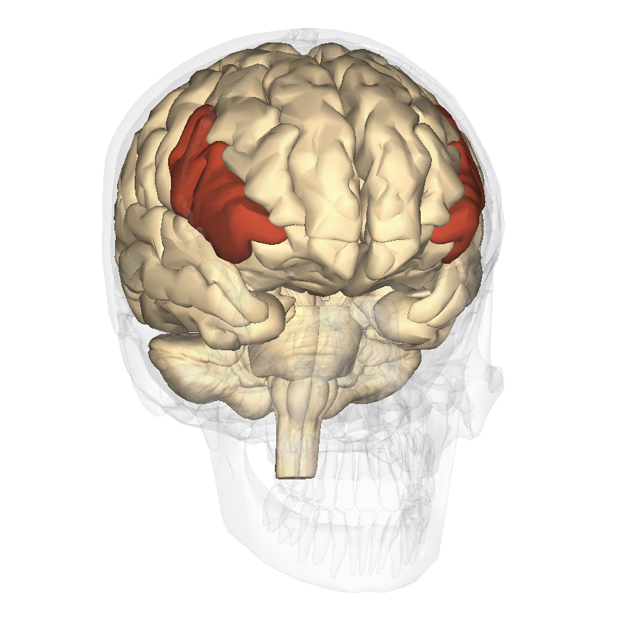 File:Inferior frontal gyrus - anterior view2.png - Wikimedia Commons